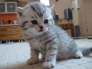 Элитный шотландский котик!