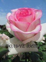 Продам саженцы плодовых деревьев,  кустарников,  роз.