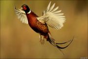 Продам взрослых охотничьих и румынских фазанов. Принимаю заявки на мол