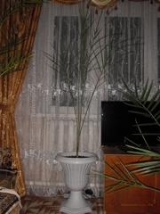 финиковая пальма 12 лет в горшочке на низкой ножке