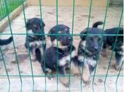 Немецкая овчарка чистокровные щенки (короткошерстные)