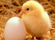 Венгерські курчата - Іспанка,  Бройлер,  Гріз Бар!