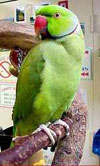 Продам Ожерелового попугая!!! г. Черкассы