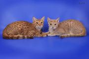 Котята оцикеты