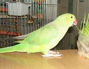 Ожереловый попугай,  продам